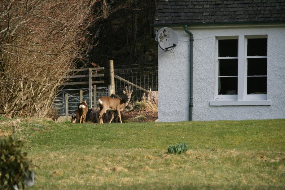 3 Roe Deer at Cottage