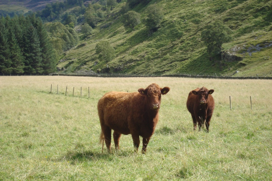 Estate cows