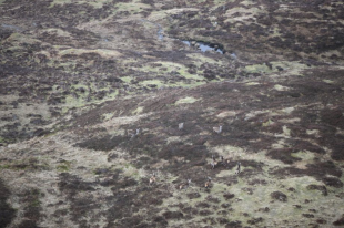 Deer from the helicopter